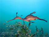 Weedy Sea Dragon (Fizzy), Flinders Pier