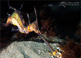 Weedy Sea Dragon, Portsea Pier