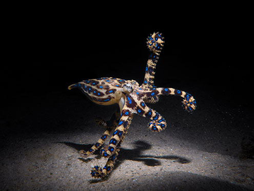 Guided Scuba Dives With Blue-Ringed Octopus