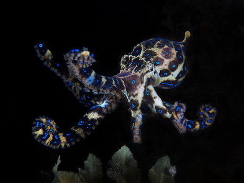A Southern Blue-Ringed Octopus Glows Blue To Warn Off Predators