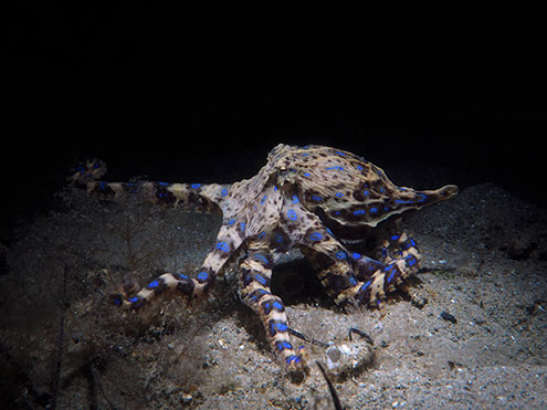 A Southern Blue-Ringed Octopus Flares Its Stunning Rings At Blairgowrie Pier