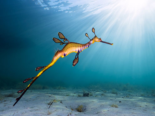 Weedy Seadragon at Flinders Pier