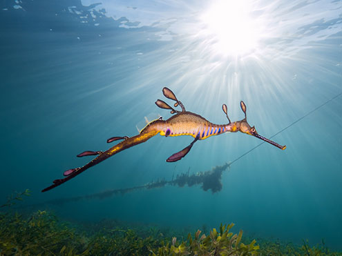 Go Diving With The Scuba Doctor To See Weedy Seadragons At Flinders Pier