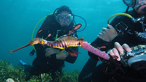 Guided Scuba Dives With Weedy Seadragons