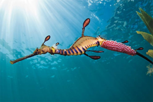 Weedy Seadragons Melbourne by The Scuba Doctor